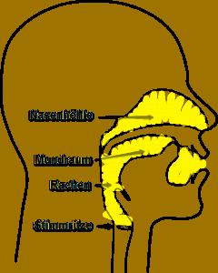 Vokaltrakt